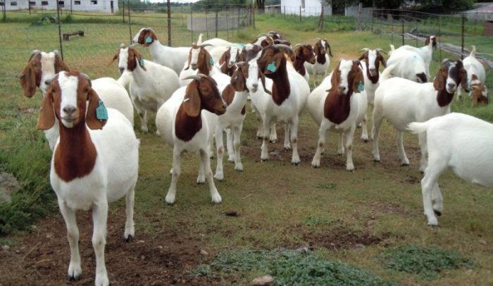 How to become a successful Goat Farmer