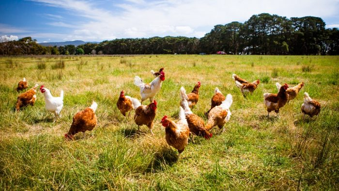 15 management tips for better poultry farm management